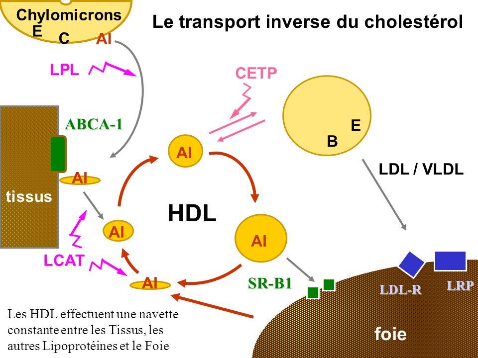 HDL Le transport inverse du cholestérol foie Chylomicrons E C AI LPL