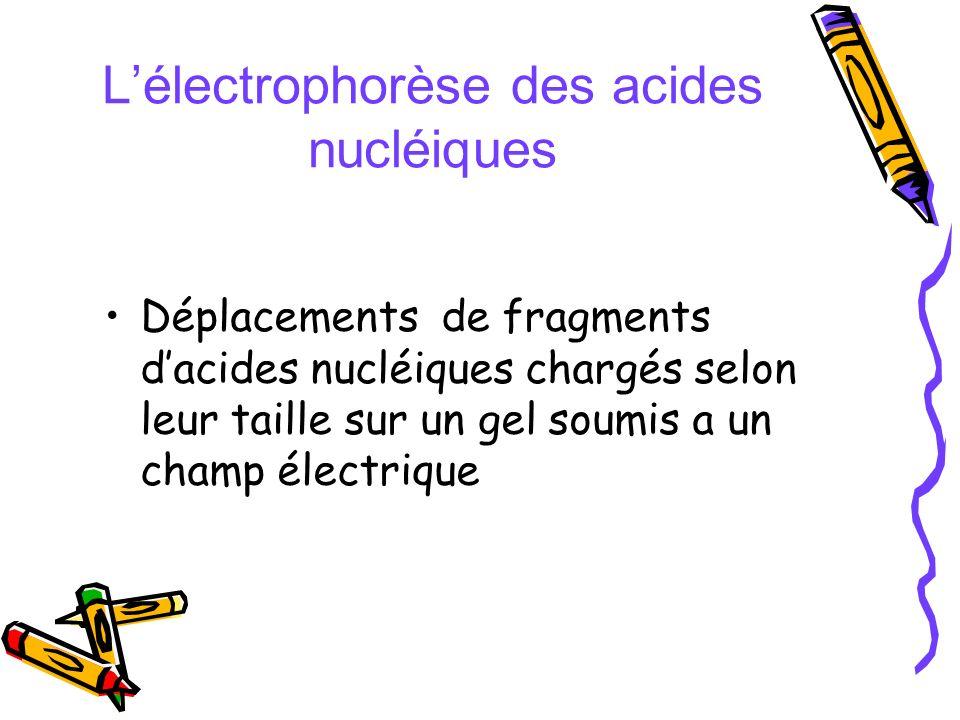 L'électrophorèse des acides nucléiques