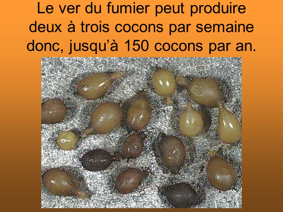 Le ver du fumier peut produire deux à trois cocons par semaine donc, jusqu'à 150 cocons par an.