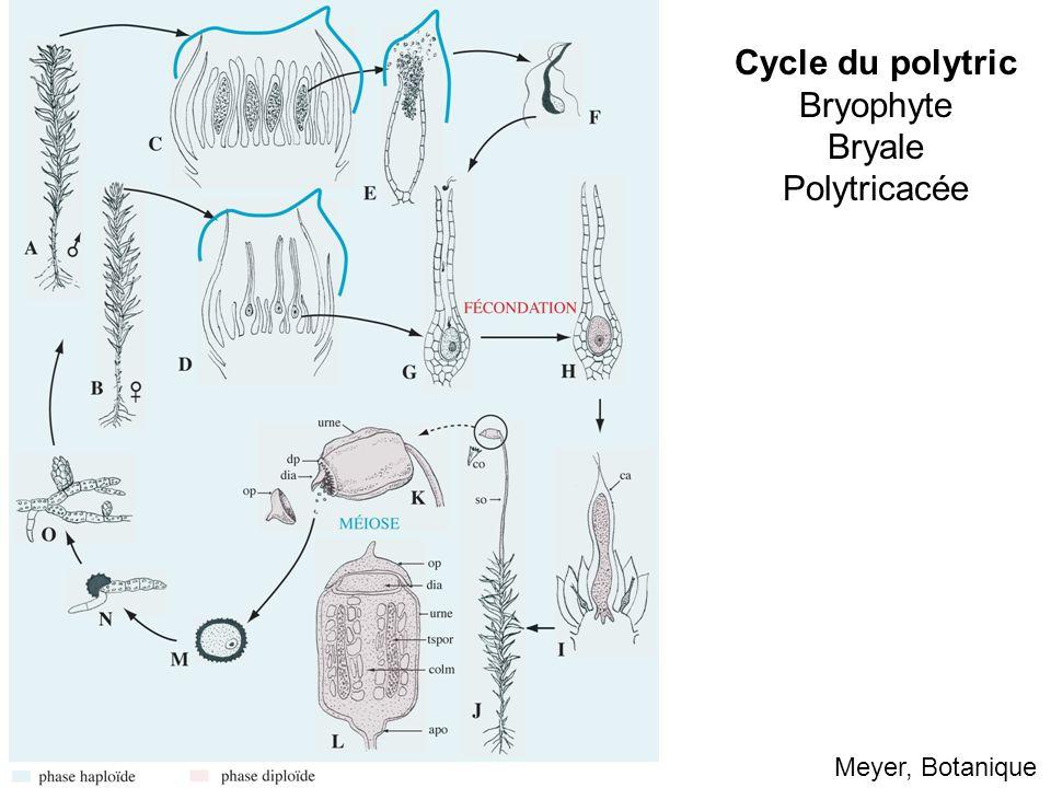 Cycle du polytric Bryophyte Bryale Polytricacée Meyer, Botanique