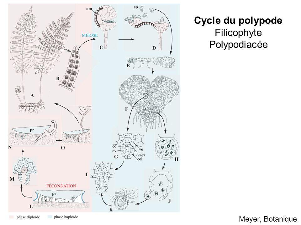 Cycle du polypode Filicophyte Polypodiacée Meyer, Botanique