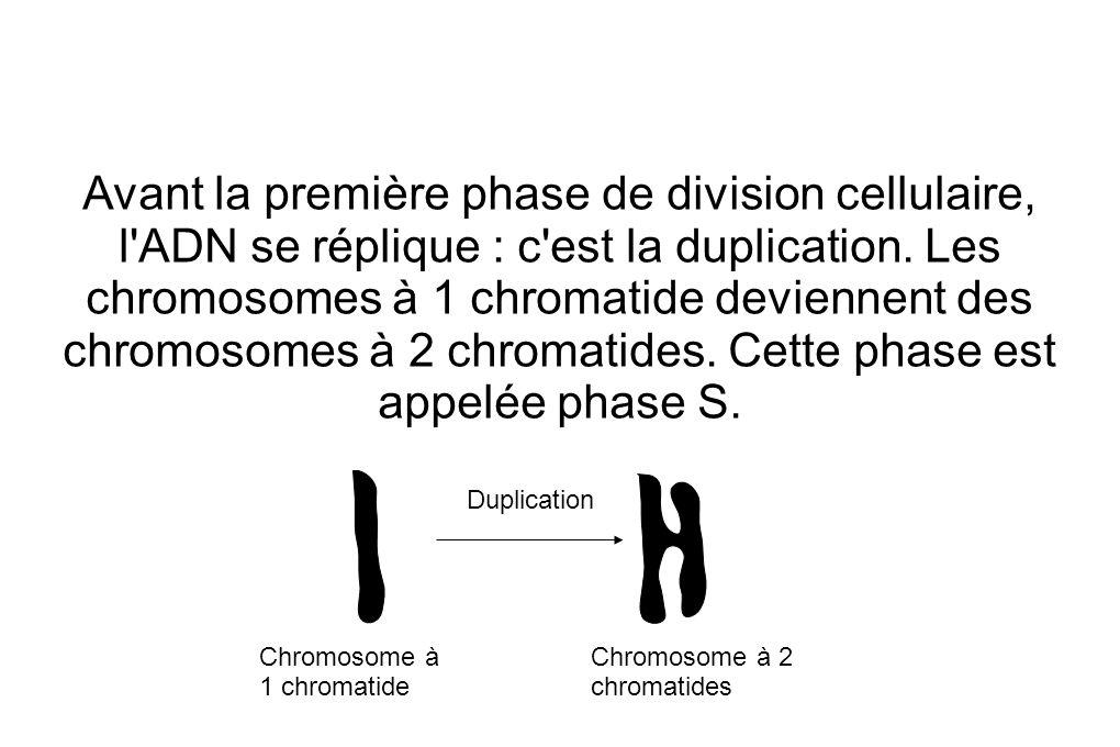 Avant la première phase de division cellulaire, l ADN se réplique : c est la duplication. Les chromosomes à 1 chromatide deviennent des chromosomes à 2 chromatides. Cette phase est appelée phase S.