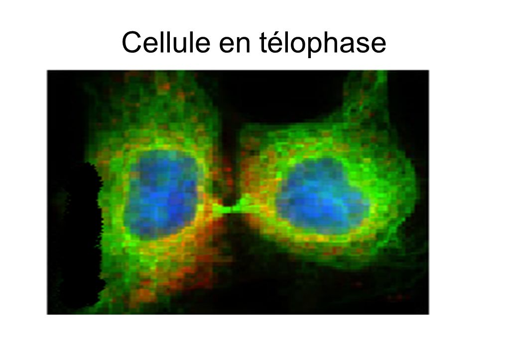 Cellule en télophase