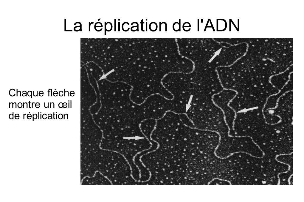 La réplication de l ADN Chaque flèche montre un œil de réplication