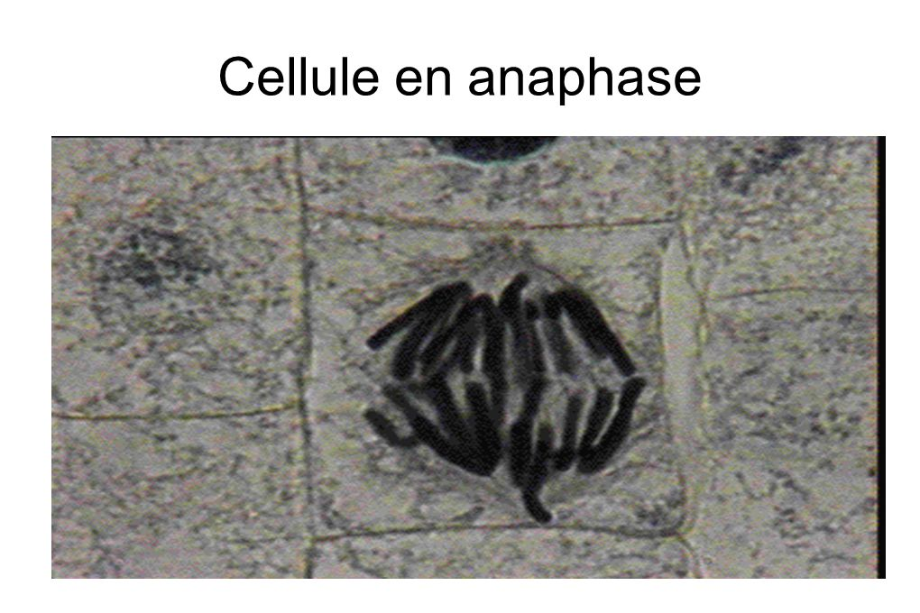 Cellule en anaphase
