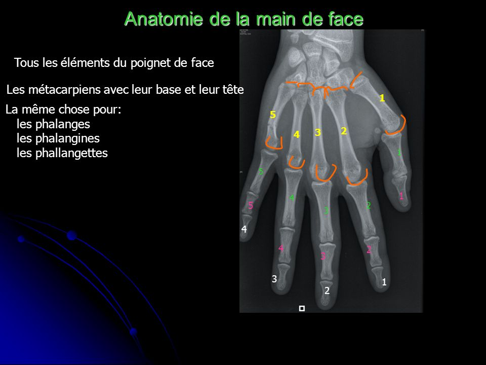 Anatomie de la main de face