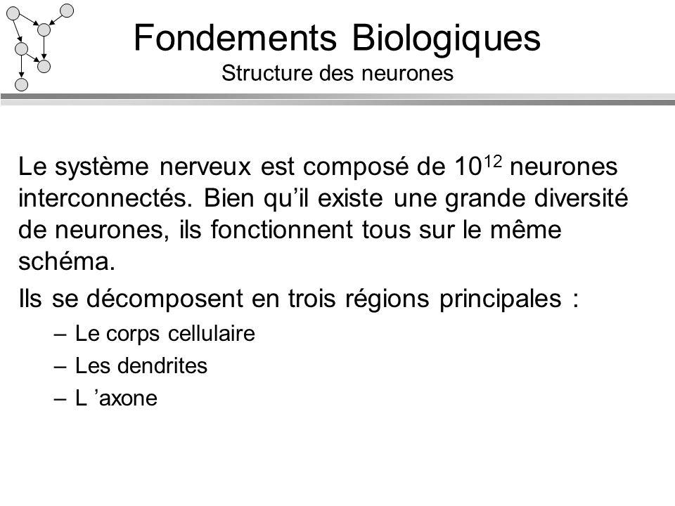 Fondements Biologiques Structure des neurones