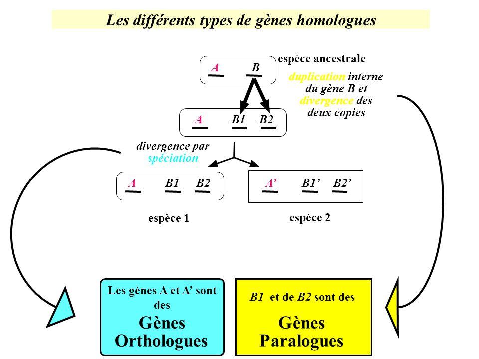 Les différents types de gènes homologues Les gènes A et A' sont des