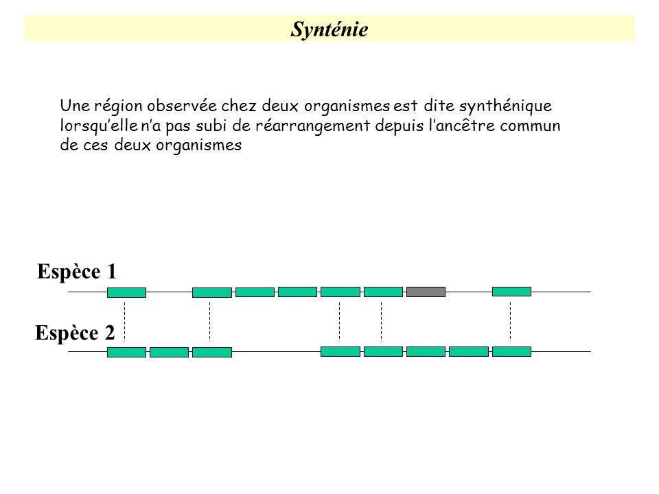 Synténie Espèce 1 Espèce 2