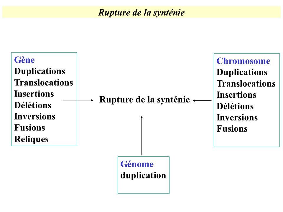 Rupture de la synténie Gène. Duplications. Translocations. Insertions. Délétions. Inversions. Fusions.