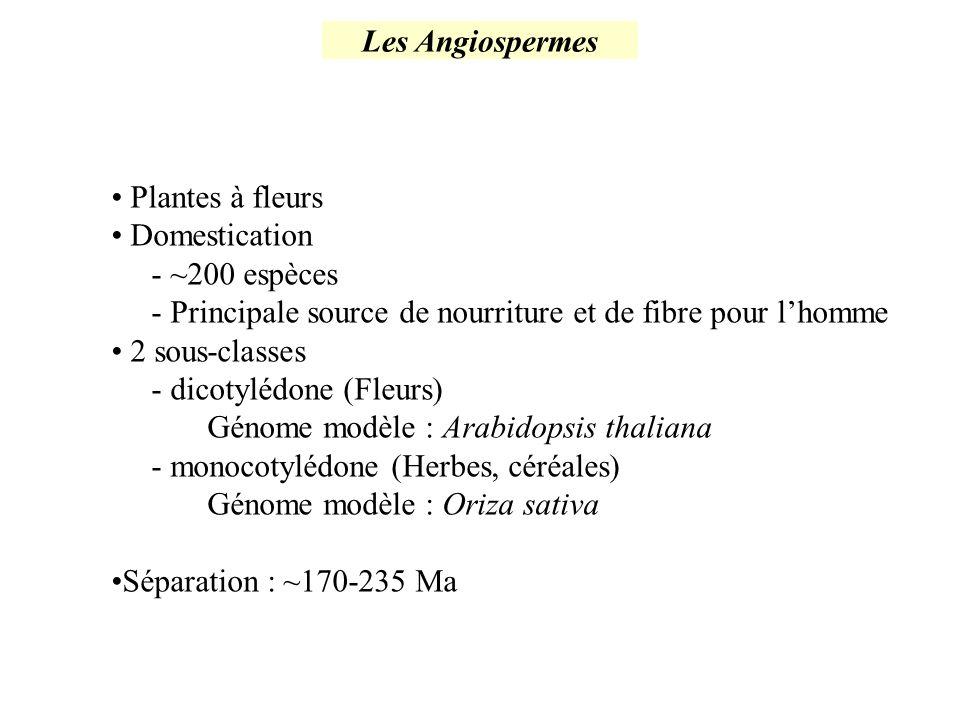 Les Angiospermes Plantes à fleurs. Domestication. - ~200 espèces. - Principale source de nourriture et de fibre pour l'homme.