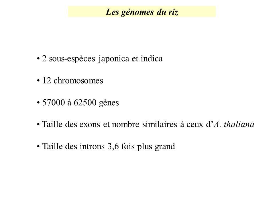Les génomes du riz 2 sous-espèces japonica et indica. 12 chromosomes. 57000 à 62500 gènes.