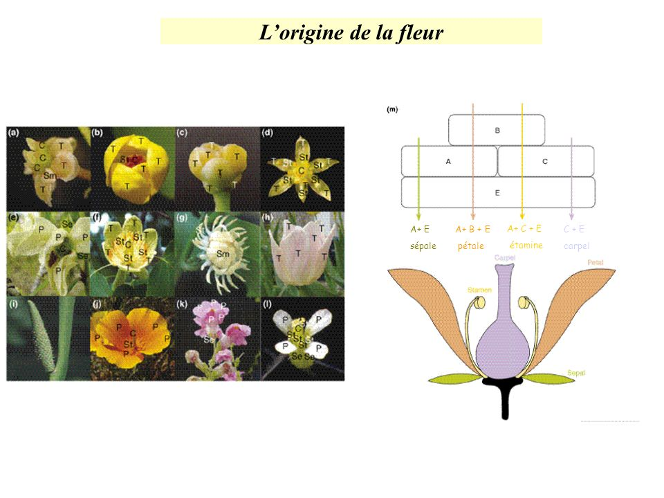 L'origine de la fleur A+ E sépale A+ B + E pétale A+ C + E étamine