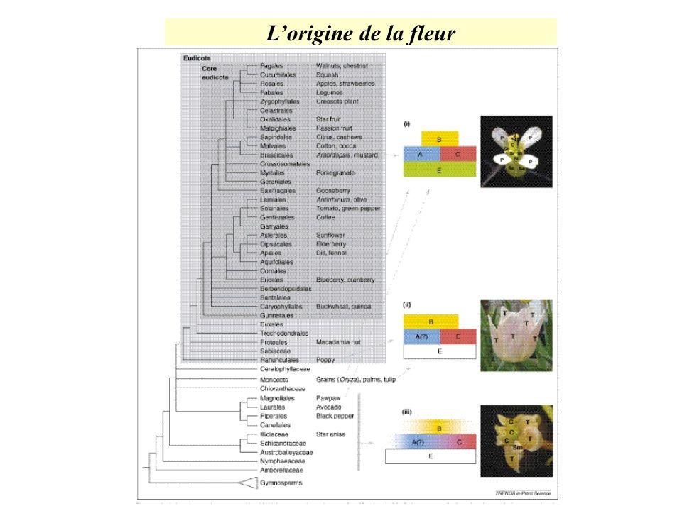 L'origine de la fleur