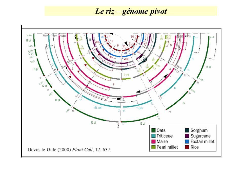 Le riz – génome pivot