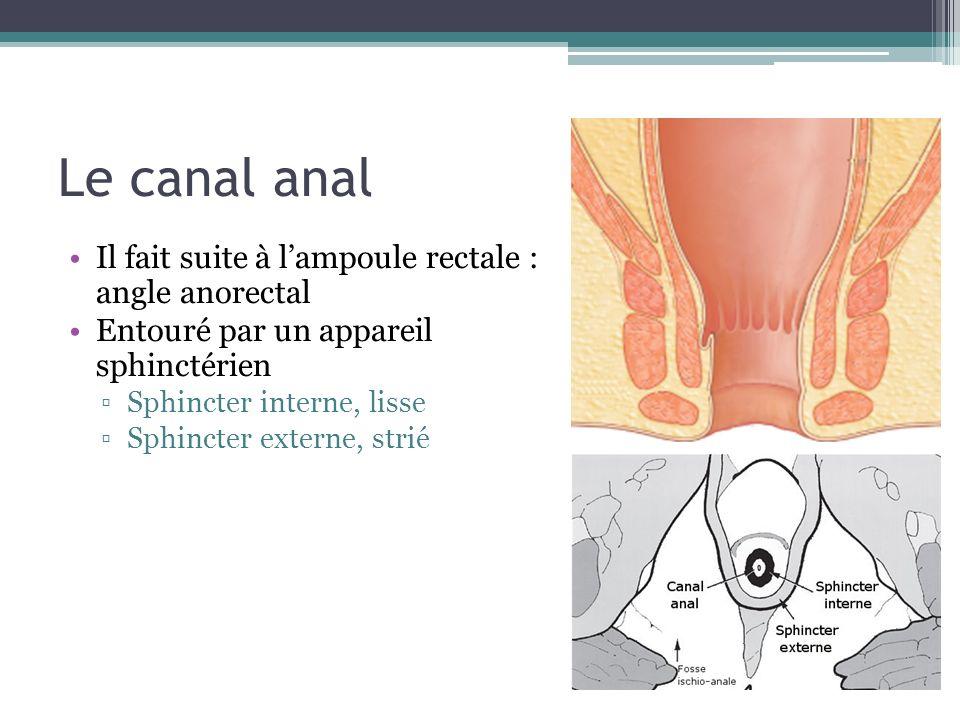 Le canal anal Il fait suite à l'ampoule rectale : angle anorectal