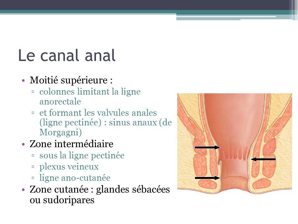 Le canal anal Moitié supérieure : Zone intermédiaire