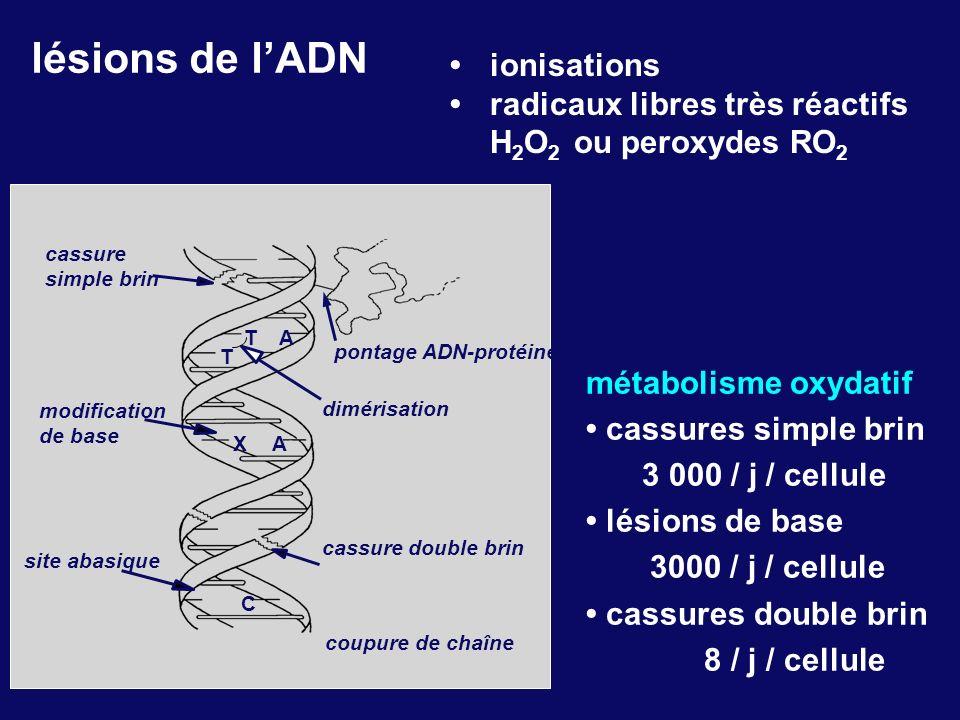 lésions de l'ADN • ionisations • radicaux libres très réactifs