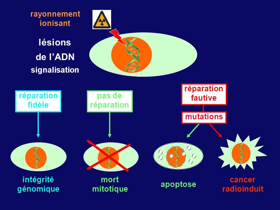 lésions de l'ADN rayonnement ionisant signalisation mutations