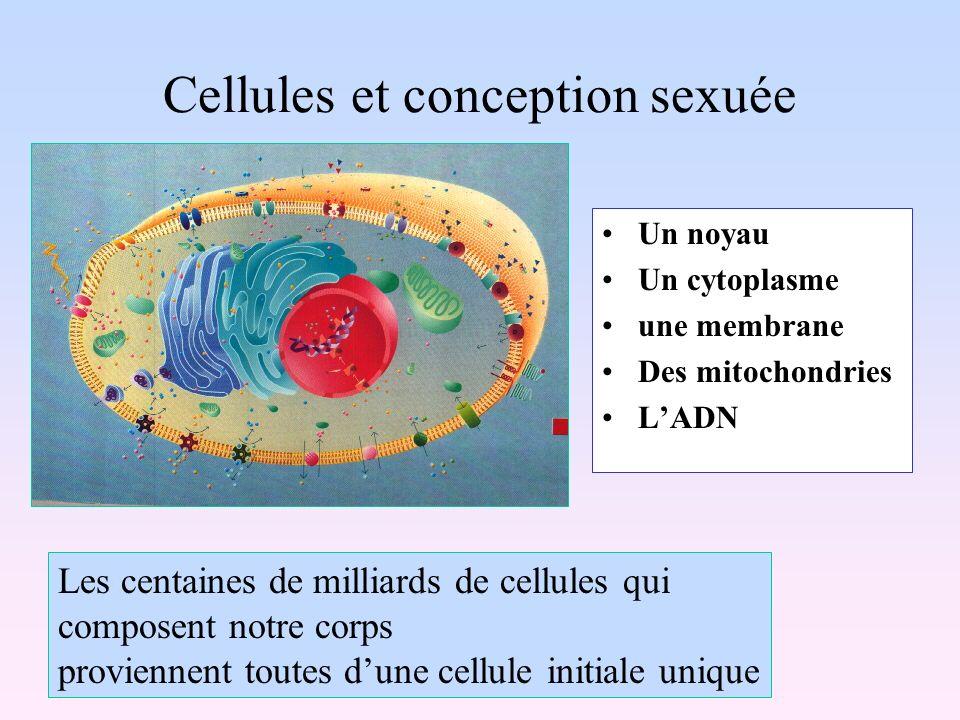 Cellules et conception sexuée
