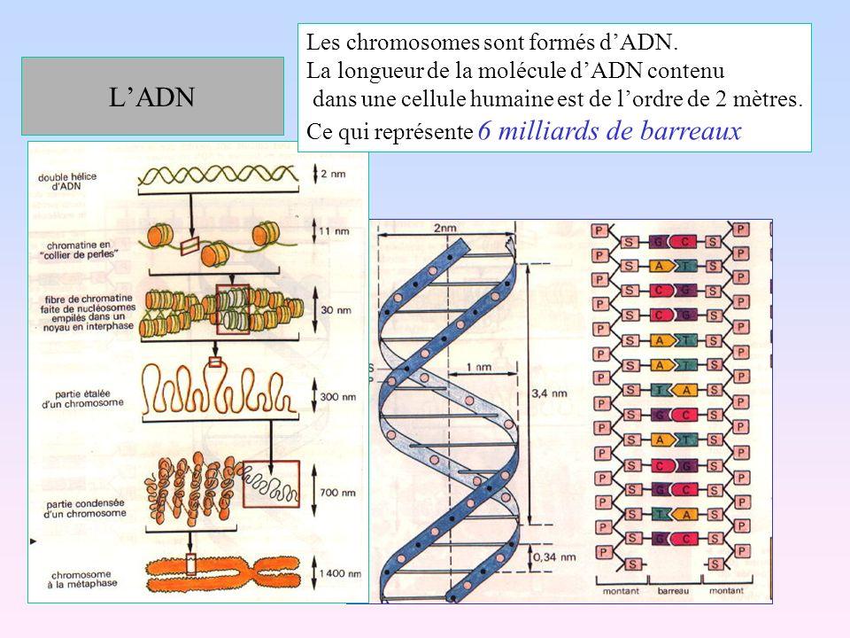 L'ADN Les chromosomes sont formés d'ADN.