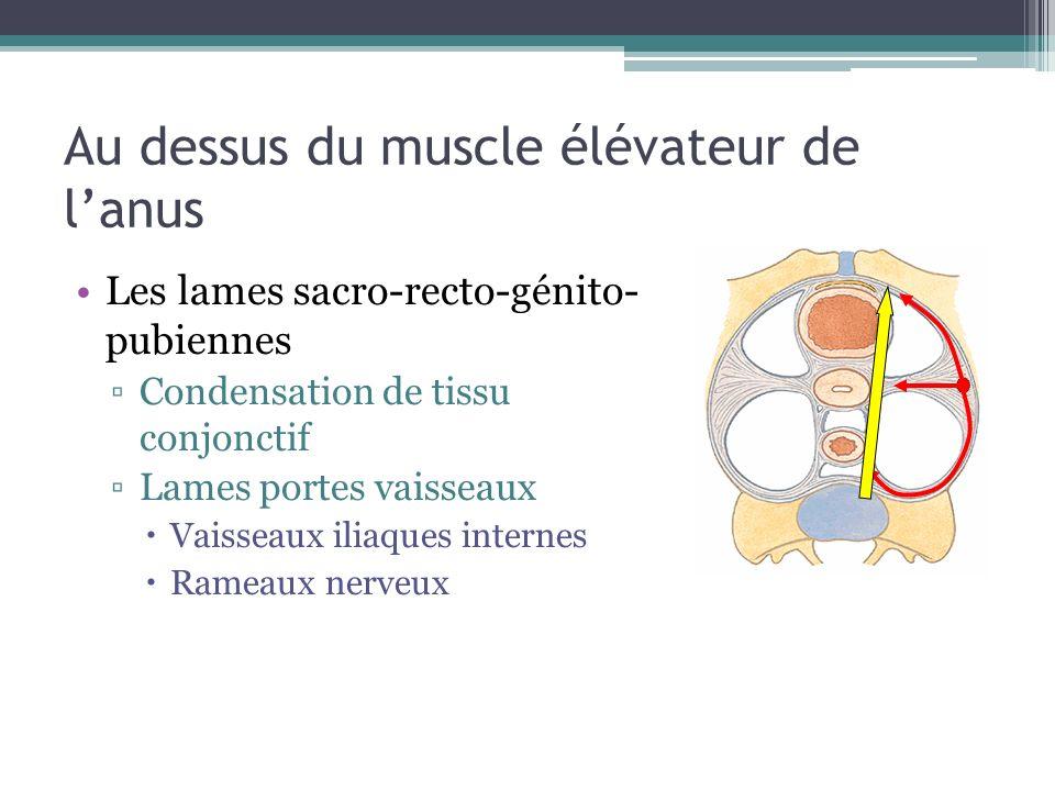 Au dessus du muscle élévateur de l'anus