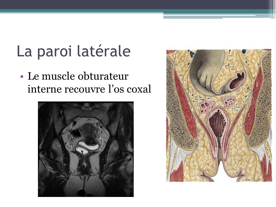 La paroi latérale Le muscle obturateur interne recouvre l'os coxal