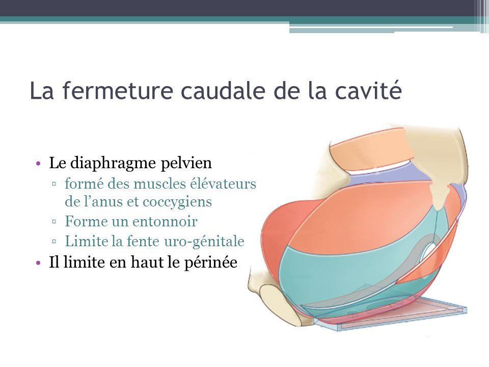 La fermeture caudale de la cavité