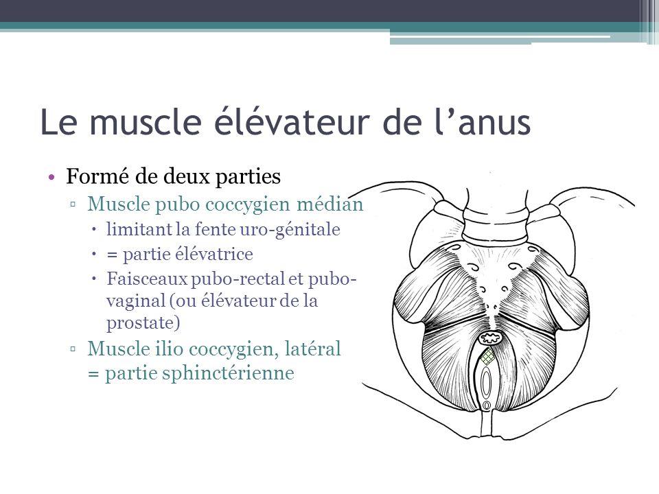 Le muscle élévateur de l'anus