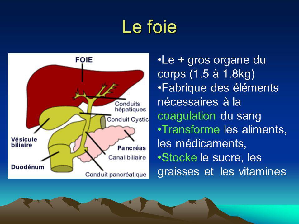Le foie Le + gros organe du corps (1.5 à 1.8kg)