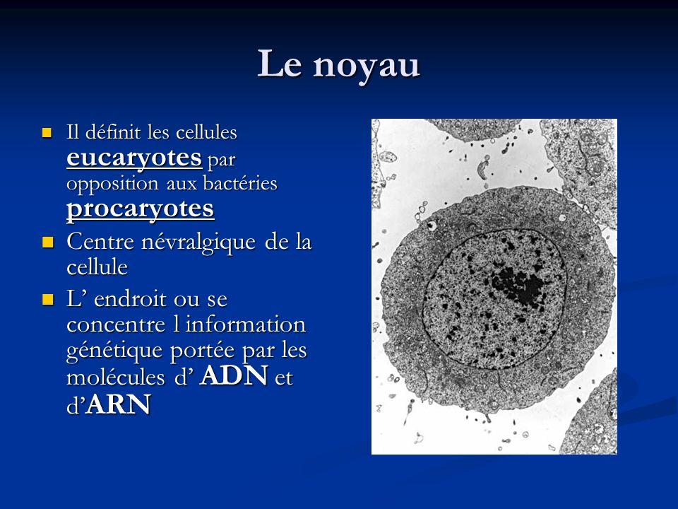 Le noyau Centre névralgique de la cellule