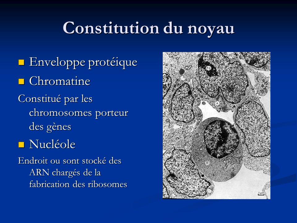 Constitution du noyau Enveloppe protéique Chromatine Nucléole