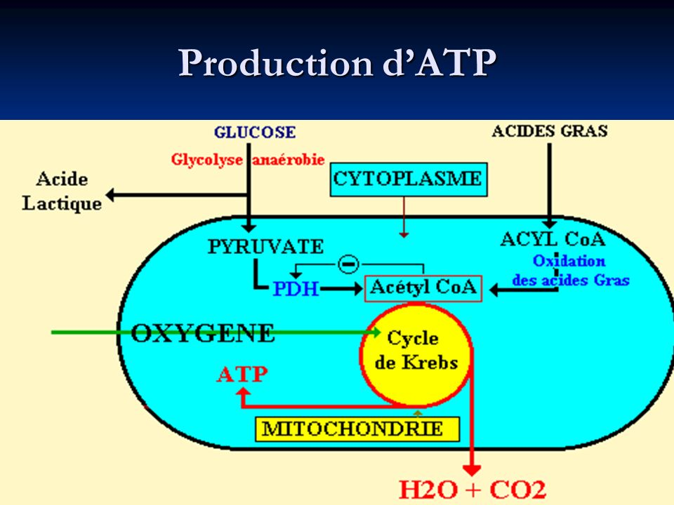 Production d'ATP