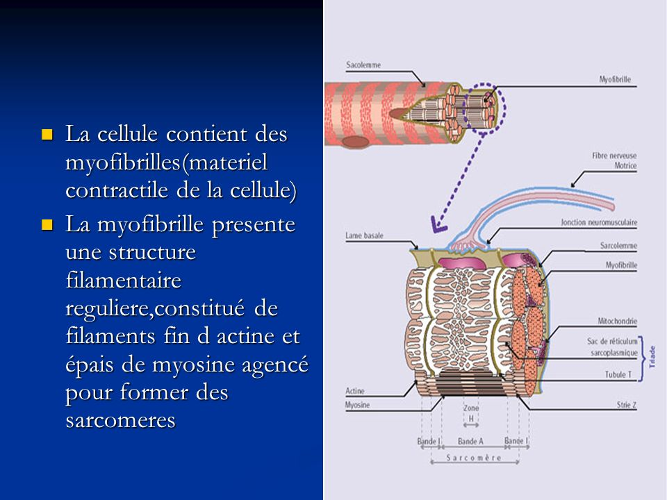La cellule contient des myofibrilles(materiel contractile de la cellule)