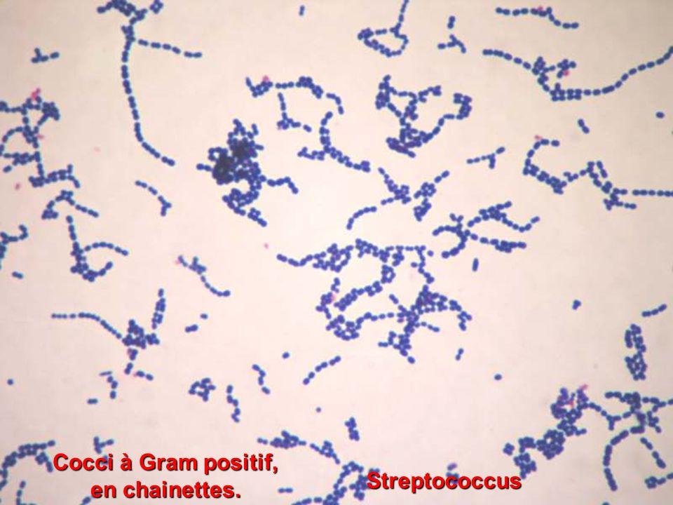 Cocci à Gram positif, en chainettes. Streptococcus