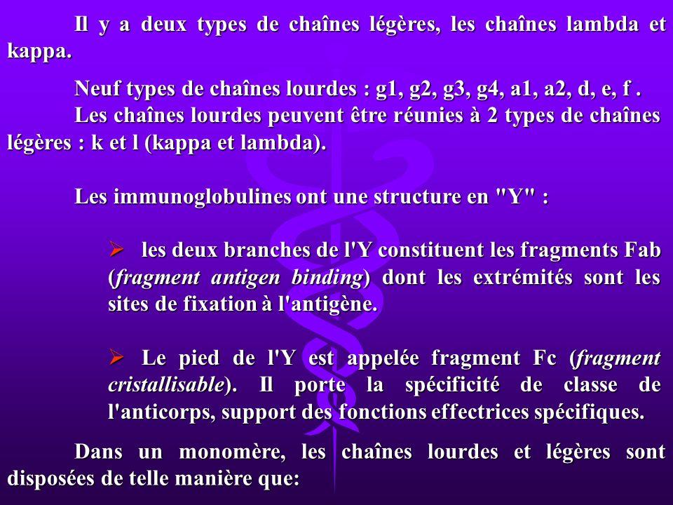 Il y a deux types de chaînes légères, les chaînes lambda et kappa.