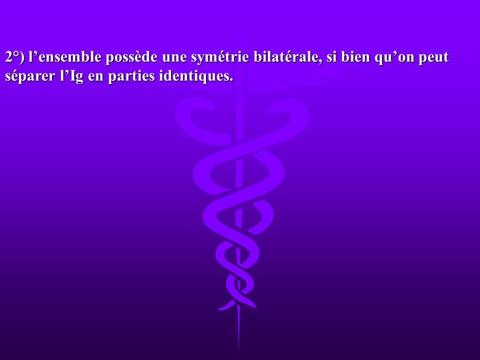 2°) l'ensemble possède une symétrie bilatérale, si bien qu'on peut séparer l'Ig en parties identiques.