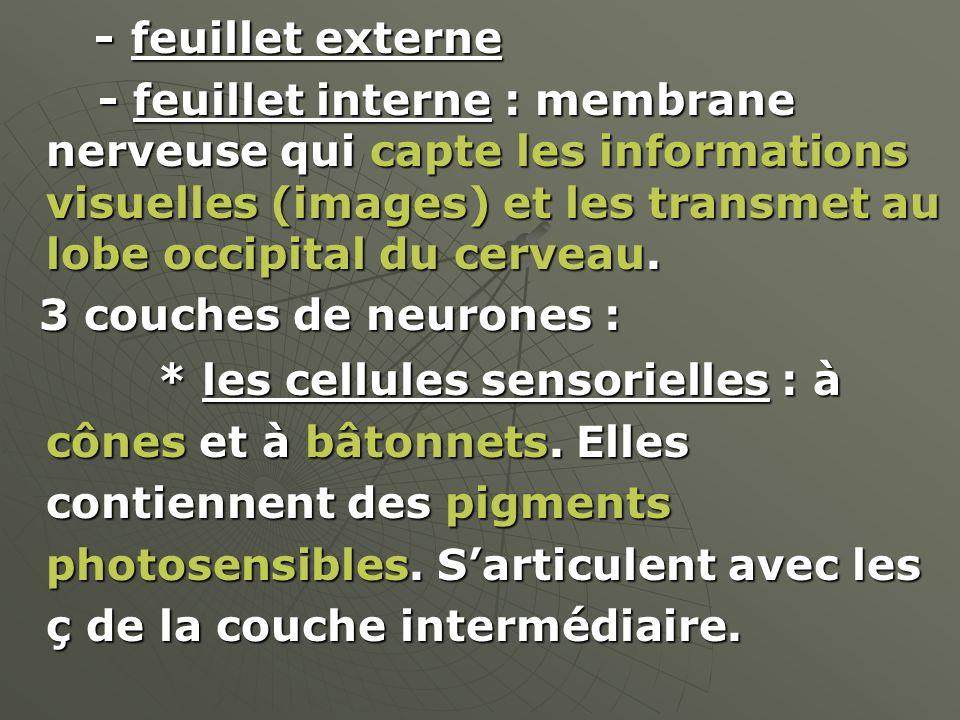 - feuillet externe - feuillet interne : membrane nerveuse qui capte les informations visuelles (images) et les transmet au lobe occipital du cerveau.