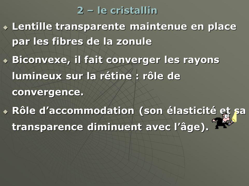 2 – le cristallin Lentille transparente maintenue en place par les fibres de la zonule.