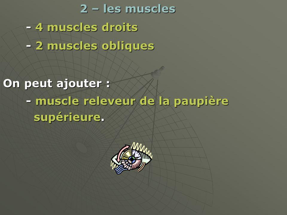 2 – les muscles - 4 muscles droits. - 2 muscles obliques. On peut ajouter : - muscle releveur de la paupière.