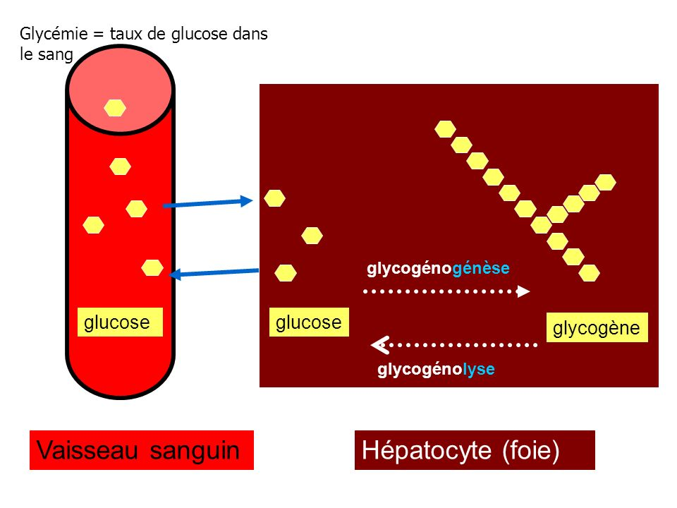 Vaisseau sanguin Hépatocyte (foie) glucose glucose glycogène