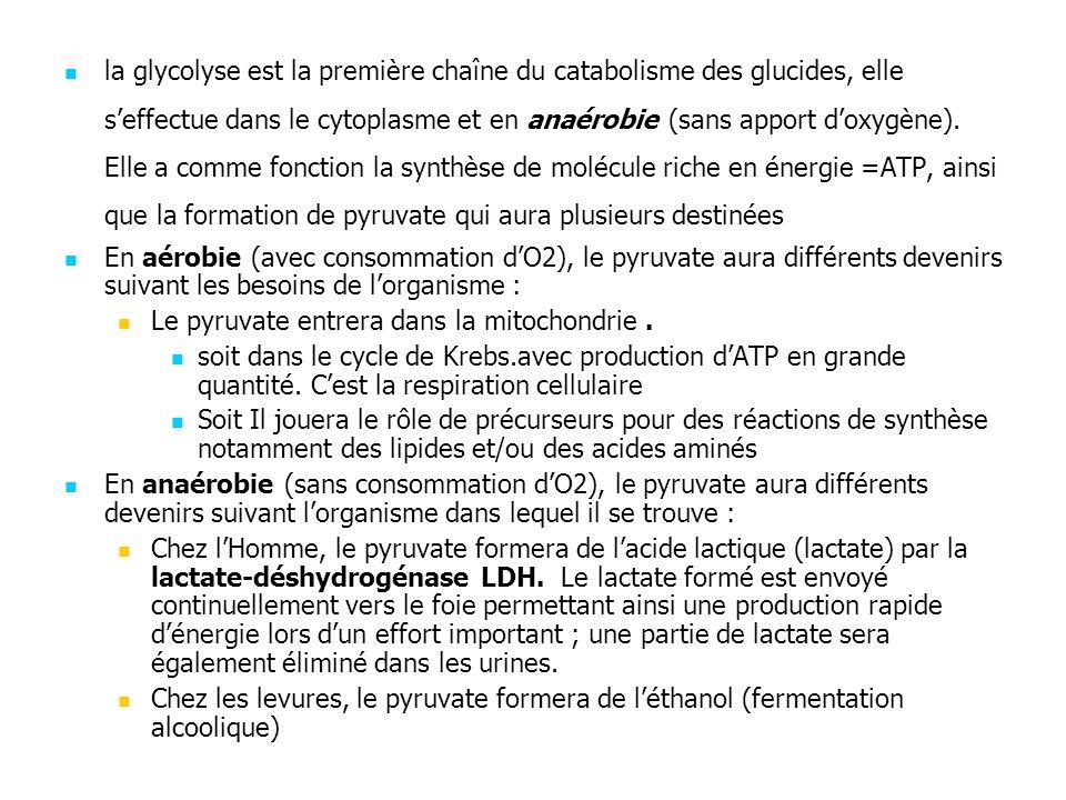 la glycolyse est la première chaîne du catabolisme des glucides, elle s'effectue dans le cytoplasme et en anaérobie (sans apport d'oxygène). Elle a comme fonction la synthèse de molécule riche en énergie =ATP, ainsi que la formation de pyruvate qui aura plusieurs destinées