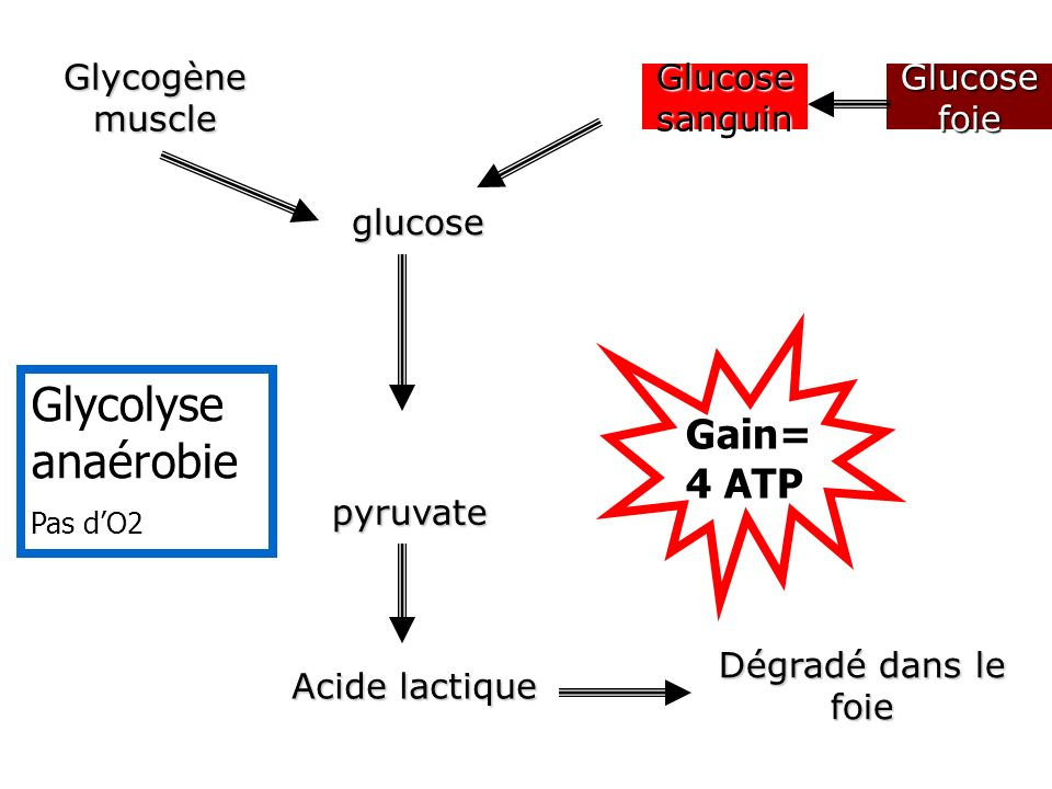 Glycolyse anaérobie Gain=4 ATP Glycogène muscle Glucose sanguin