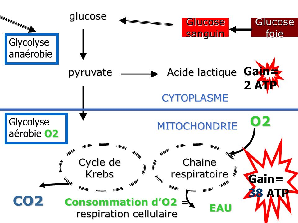Consommation d'O2 = respiration cellulaire