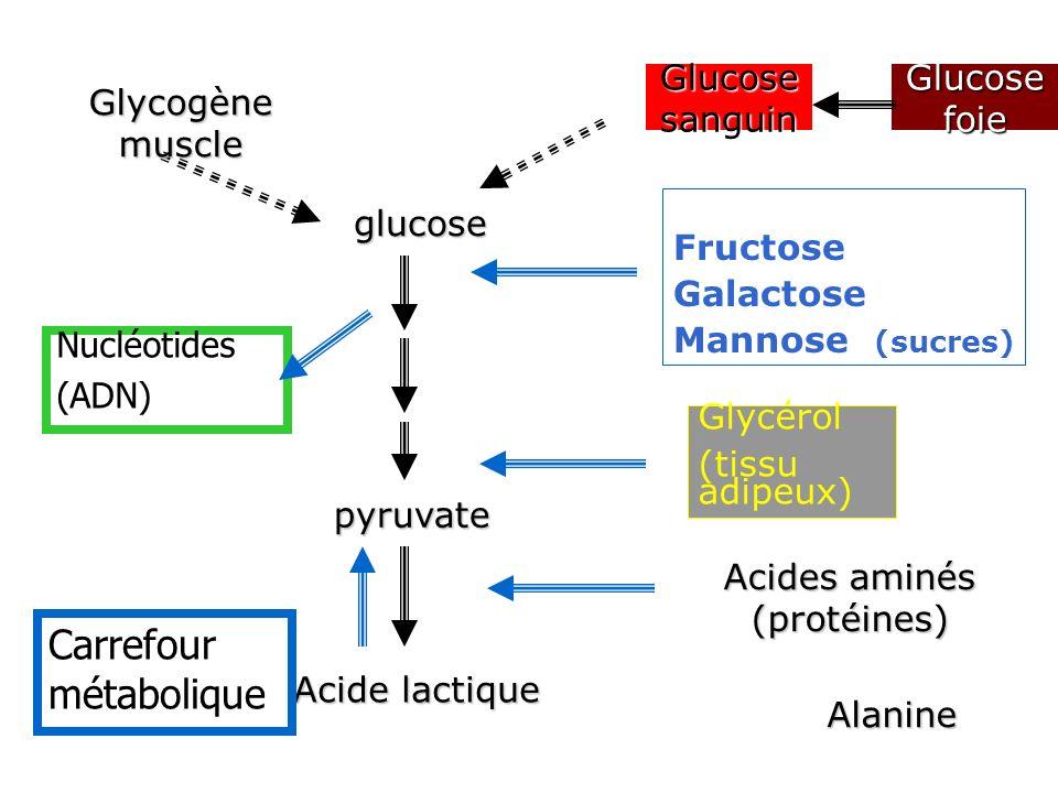 Acides aminés (protéines)
