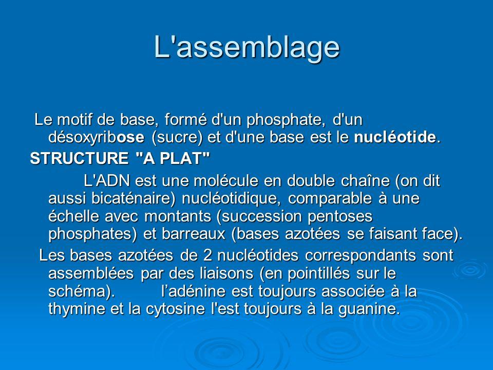 L assemblage Le motif de base, formé d un phosphate, d un désoxyribose (sucre) et d une base est le nucléotide.