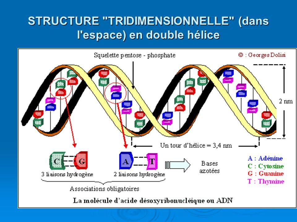 STRUCTURE TRIDIMENSIONNELLE (dans l espace) en double hélice