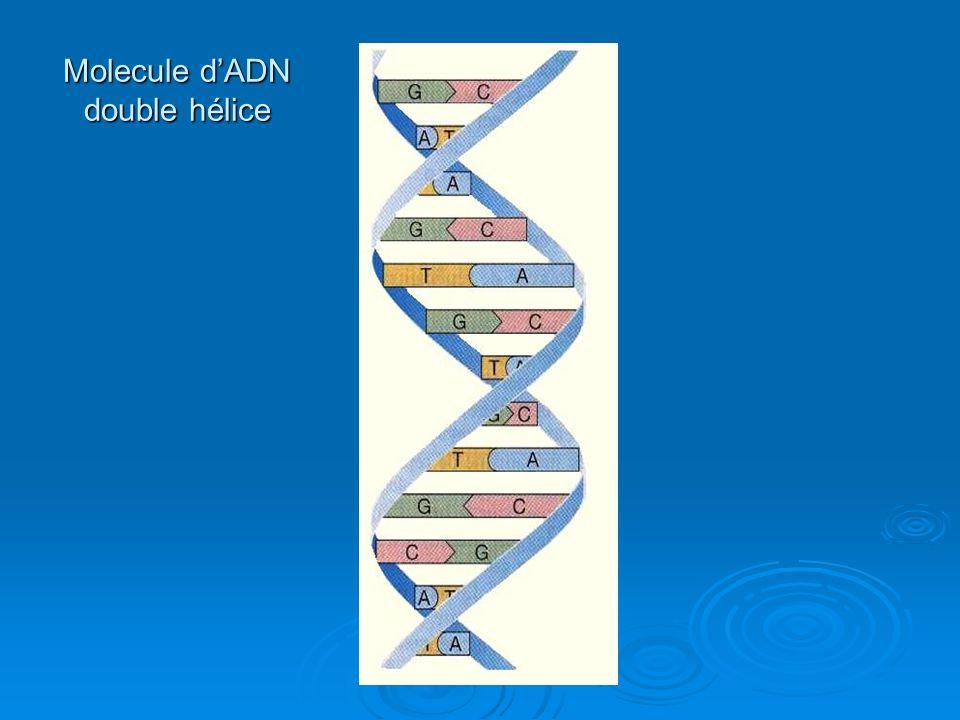 Molecule d'ADN double hélice