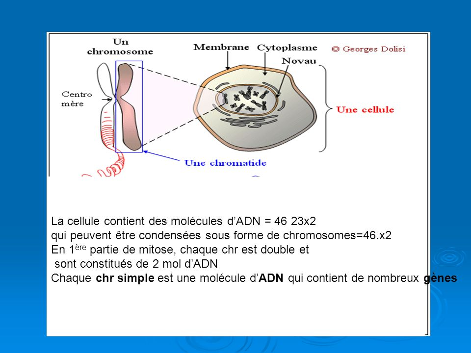 La cellule contient des molécules d'ADN = 46 23x2