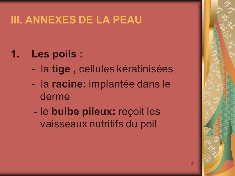 III. ANNEXES DE LA PEAU Les poils : - la tige , cellules kératinisées. - la racine: implantée dans le derme.